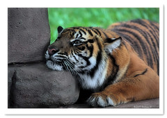 Any old pillow will do. (Barbara J H) Tags: tiger qld sunshinecoast australiazoo endangeredspecies beerwah endangeredanimal specanimal austgralia barbarajh auselite vosplusbellesphotos
