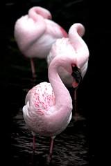 Pink Touch (pitchoun8) Tags: hawaii oahu honolulu flamenco pitchoun8