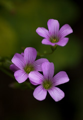 Armand Bayou - Violet(?) Wood Sorrel