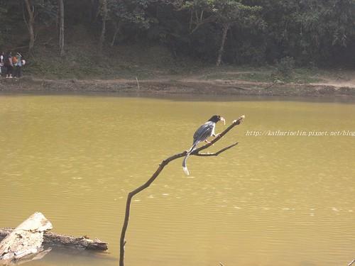 你拍攝的 18台灣藍鵲。