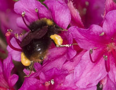 Bumble Bee collecting pollen (Jim Nicholson) Tags: macro nikon bee bumblebee d300 sigma105mm exburygardens sigma105mmf28exdg jimnicholson talkphotography vogonpoetry nikond300