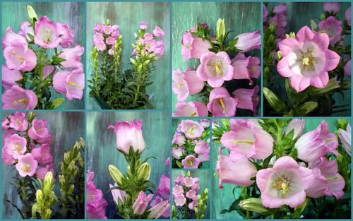 Pink Bellflower Collage