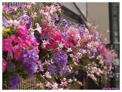 Horikawa Flower Festival 20090327 #07