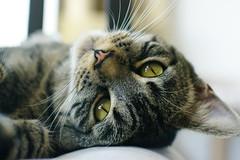 1 año ({Blue Dove}) Tags: cat 50mm eyes chat pentax tabby kitty yeux ojos gato katze highiso tigré atigrado k20d fa14