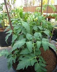 Greenhouse Tomato