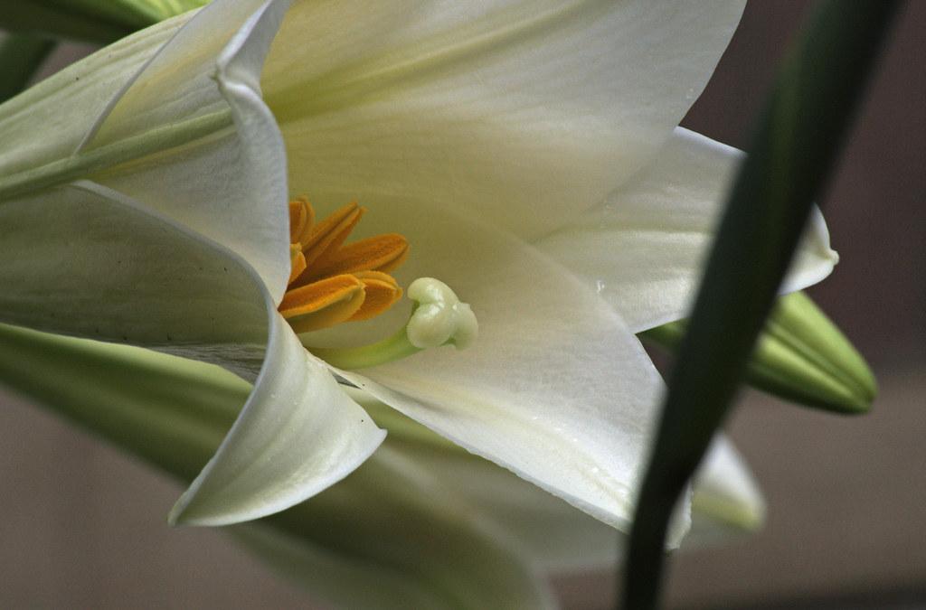 20090609_007 Lilies