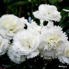 (monteregina) Tags: flowers plants white flower macro closeup fleurs petals spring plantae blanc printemps plantes flore onblack ptales flowersonblack