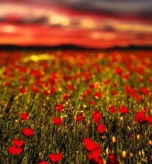 [フリー画像] [花/フラワー] [花畑] [芥子/ケシ] [レッド/花] [赤色/レッド]      [フリー素材]