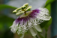 クダモノトケイソウの花