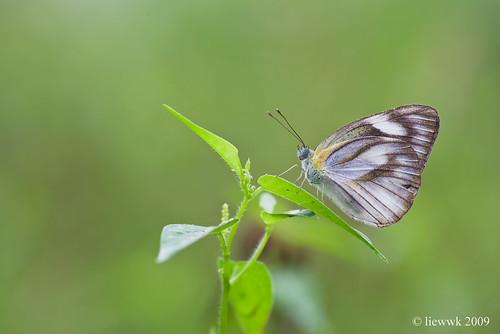 21.22 Butterfly - Appias libythea olferna