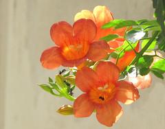 Campsis radicans or Trumpt flowers at my home (S. Q. Mehdi) Tags: flower town model vine lahore radicans campsis trumpt vosplusbellesphotos