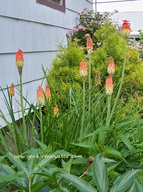 Torch Lily 2