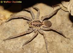 Aranha lobo radiada (Lycosidae Hogna radiata) 3672498606_b9d6ac8e97_m