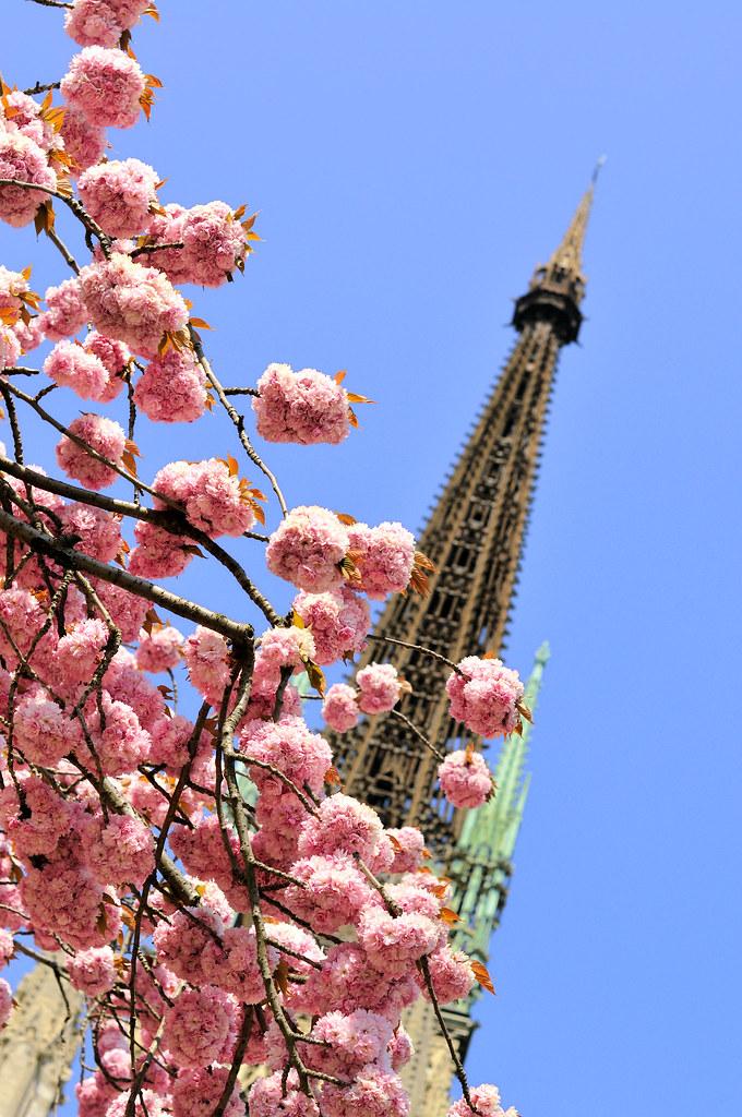 Clocher et cerisiers du Japon