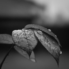 Drops (channel one) Tags: rain rose leaf digilux2 drop digilux