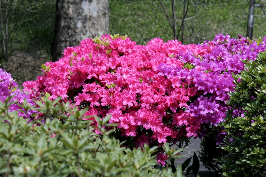 Japanese rhododendron(2)