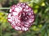 Clavel 2010  (Dianthus caryophyllus) (Javier Garcia Alarcon) Tags: flores coral flor dianthus tunica clavel caryophyllaceae dianthuscaryophyllus corales caryophyllus aljaba caryophylla tunicacaryophylla saponinas
