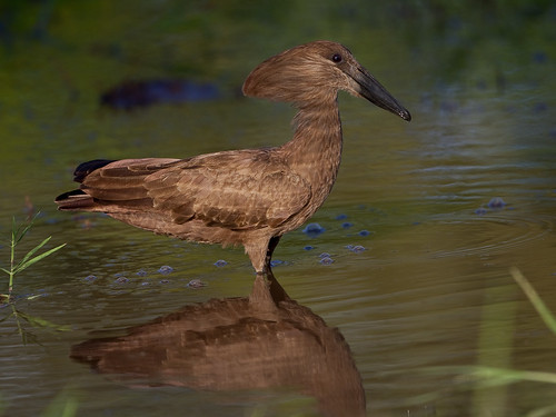 Hamerkop - Scopus umbretta