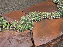 Sempervivum arachnoideum Rock Wall (Kelley Macdonald) Tags: succulent sempervivum semp sempervivumarachnoideum succulentfence