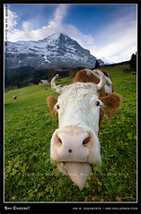 Portrait of a Swiss Cow - Grindelwald, Switzerland (jimgoldstein) Tags: travel mountain tongue switzerland cow suisse grindelwald eiger jmggalleries aplusphoto jimmgoldstein canon1dsmarkiii