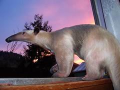 Sunset Anteater
