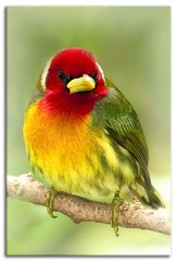 Rainbow (Alfredo11) Tags: red naturaleza verde green bird nature colors birds yellow rojo eyes nikon little beak feather colores amarillo ojos pico pluma pajaro tones plumage d300 tonos plumaje