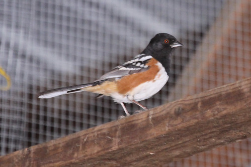 Phriday Photo – Spotted Towhee Lifer