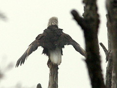 Eagle Drying Wings