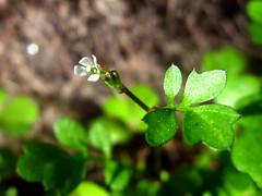 flor pitimini de hierbajo (jacilluch) Tags: white flower macro fleur flor blossoms blanca silvestre watercress berro rorippa rorippanasturtiumaquaticum cresón