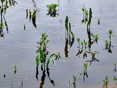waterweed - by Yersinia
