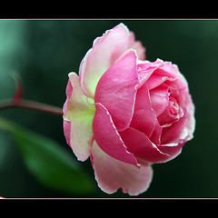 Pretty Pink (JannaPham) Tags: pink summer flower green rose canon garden eos pretty friendship russia moscow thank 40d ultimateshot theperfectphotographer jannapham