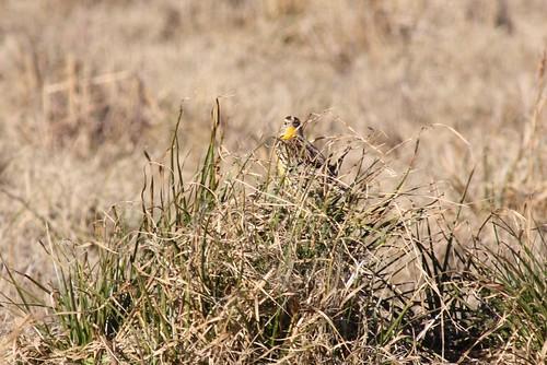 Western Meadowlark - 1/20/2009