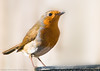Poser (*ian*) Tags: bird robin garden blog favourite interestingness225 featheryfriday bigemrg top300 feb2009blog