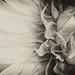 Sunflowers_001