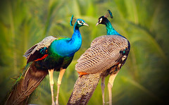 peacock talk (sibi ar ( I'm BACK :)) Tags: india bird canon peacock colourful coimbatore sibi vosplusbellesphotos