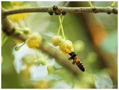 Mammea siamensis & flying Bee (b. inxee♪♫) Tags: thailand asahi takumar bee m42 chiangmai smc 135mm siamensis สารภี wonderfulworldofflowers mammea supertakumar1135f35