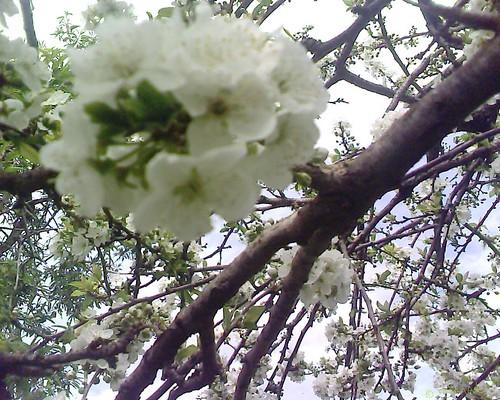 Prunier en fleurs البرقوق مزهراً