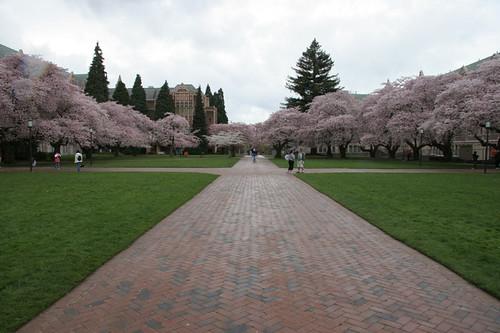 Cherry Blossoms at UW Quad