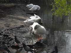 Geese Cleaning Themselves With Pigeons. (Ceiridwen) Tags: park lake reflection gardens geese pretty pigeons cleaning ripples washing southend southchurch