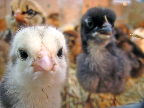The Most Adorable Baby Chickens You've Ever Seen!