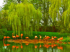 Flamingos at Whipsnade (algo) Tags: pink trees england black color colour green water colors reflections photography interestingness spring topf50 colours searchthebest topv1111 topv999 topv444 salmon flamingos explore willow algo weepingwillow topf100 whipsnade 100f naturesfinest thechilterns chilternhills 50f explore57 90415
