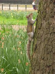 al esconderite inglés (tnarik) Tags: tree london squirrels greenpark londres árbol ardilla ardillas rbol