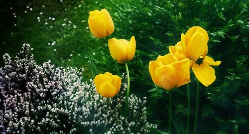 Drops on yellow Tulips
