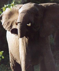 Elephant Comin' at you (Valeries Galleries) Tags: galleries valeries valeriesgalleries