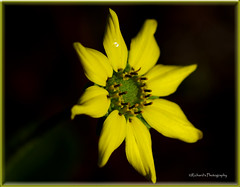 Wild Yellow (rickm FL) Tags: sun flower nature yellow canon photographer 1001nights wildflower onblack blueribbonwinner brooksville flowerotica rebelxs flickrsbest golddragon abigfave amazingphotography naturecoast flowersgroup theperfectphotographer excellentsflowers explorewinnersoftheworld rickmudd simplythebest~flowers flickrflorescloseupmacros richardsphotography sigma70300456dgmacrolens