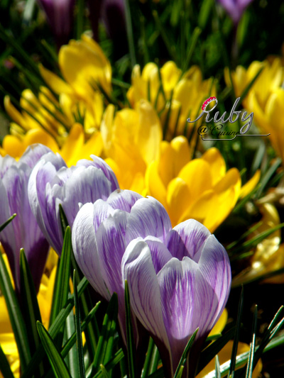 spring02_crocus