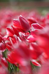 كشف طعم بوسه تو (امیر زبرجد) Tags: art canon photo iran tulips iranian ايران flickrsbest canonef70300mmisusm canon40d امیرزبرجد amirzebarjad اميرزبرجد photobyamirzebarjad