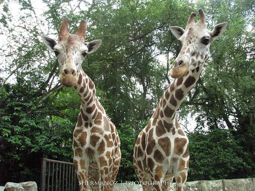 Shermanoz - Giraffe 2