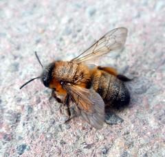 Numblebee
