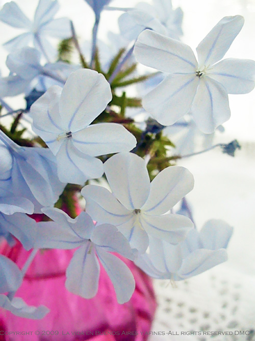 Blue Flowers in a pink vase (Flickr colors:)